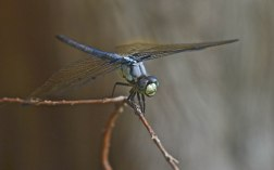 Blue Dragonfly | Abbie Korman
