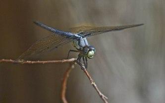 Blue Dragonfly | Abbie Korman