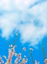 Cherry Blossom | Abbie Korman