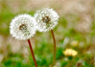 Dandelions | Abbie Korman