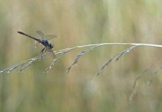 Dragonfly with Orange Sparkle | Abbie Korman
