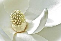 Magnolia | Abbie Korman