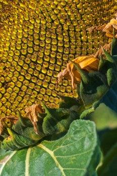 Sunflower | Abbie Korman